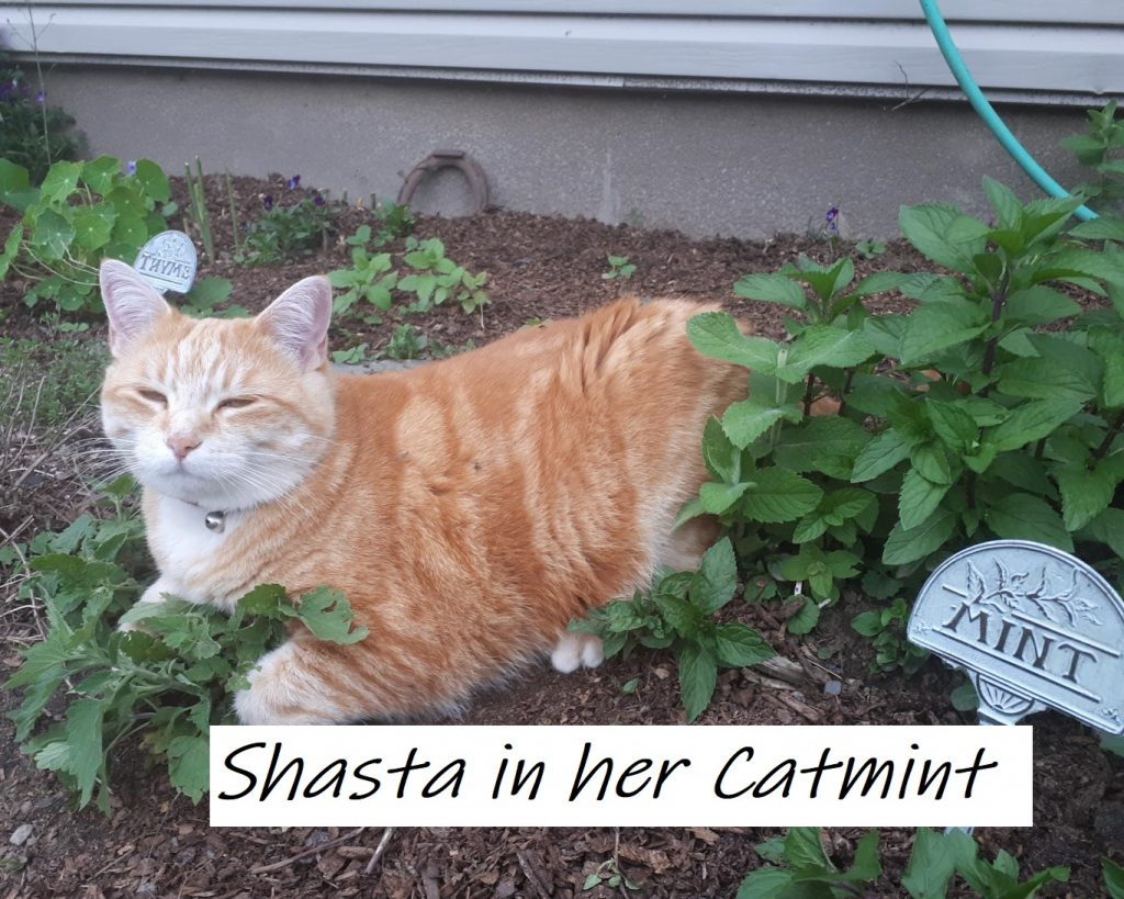 Shasta in the Mint